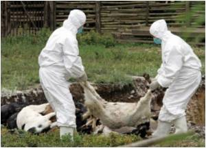 Bosnia-health-animal-disease-25966